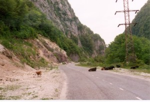 Cattle in the road. Sochi/Adler. May 1998.